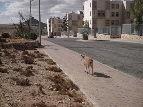 ibex in the city